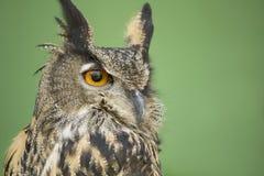 Buho de águila eurasiático Imagen de archivo
