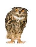 Buho de águila eurasiático - bubón del bubón (22 meses) Imagen de archivo libre de regalías