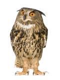 Buho de águila eurasiático - bubón del bubón (22 meses) Foto de archivo