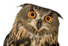 Buho de águila eurasiático - bubón del bubón (22 meses) Imagenes de archivo