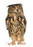 Buho de águila eurasiático - bubón del bubón (22 meses) Foto de archivo libre de regalías
