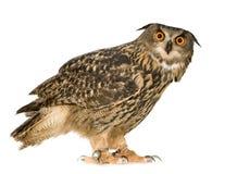 Buho de águila eurasiático - bubón del bubón (22 meses) Imágenes de archivo libres de regalías