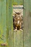 Buho de águila eurasiático en puerta de granero Imágenes de archivo libres de regalías