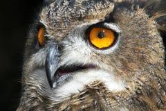 Buho de águila europeo Fotos de archivo libres de regalías