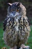 Buho de águila europeo Fotos de archivo