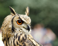 Buho de águila europeo Imagen de archivo libre de regalías