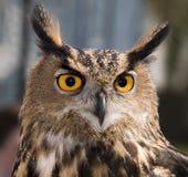 Buho de águila europeo imagen de archivo