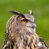 Buho de águila europeo Foto de archivo