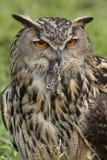 Buho de águila europeo (bubón de Buba) Imágenes de archivo libres de regalías