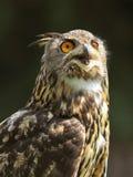 Buho de águila europeo (bubón del bubón) Imagen de archivo libre de regalías