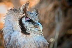 Buho de águila gigante Foto de archivo libre de regalías