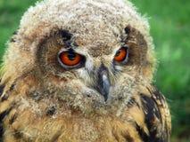 Buho de águila norteño (bubón del bubón) Foto de archivo libre de regalías