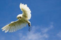 Buho de granero - Tyto alba Fotografía de archivo