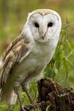 Buho de granero (Tyto alba) foto de archivo libre de regalías