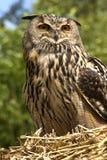 Buho de águila europeo (bubón de Buba) Imagen de archivo