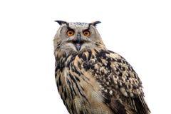 Buho de halcón Imagenes de archivo