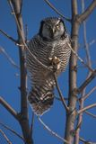 Buho de halcón norteño Foto de archivo libre de regalías