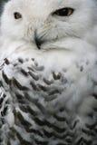Buho de la nieve Fotografía de archivo