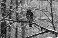Buho en invierno Foto de archivo libre de regalías