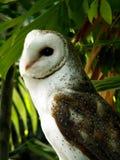 Buho en las zonas tropicales Fotos de archivo libres de regalías