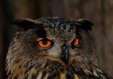 Buho Eyed anaranjado en la noche Fotos de archivo