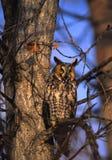 Buho Long-eared Foto de archivo libre de regalías