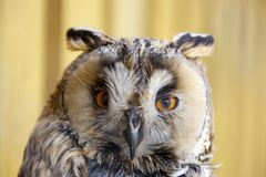 Buho Long-eared Foto de archivo