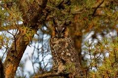 Buho Long-eared en un árbol Imagenes de archivo