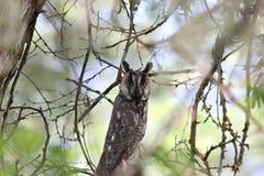 Buho Long-eared (otus del Asio) Fotos de archivo libres de regalías