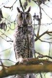Buho Long-eared (otus del Asio) Imágenes de archivo libres de regalías