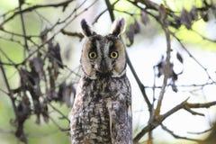 Buho Long-eared (otus del Asio) Imagen de archivo