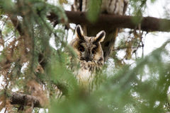 Buho Long-eared, otus del Asio Fotografía de archivo libre de regalías