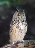Buhos de águila eurasiáticos - bubón del bubón imagen de archivo libre de regalías