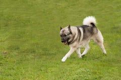 Buhund elegante que striding para fora Imagens de Stock Royalty Free