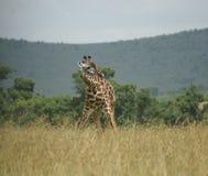 Buigende giraf Royalty-vrije Stock Afbeelding