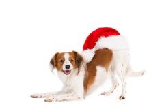Buigende Kooiker-Hond met Santa Hat op achtereind Royalty-vrije Stock Foto