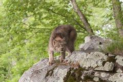 Buigende Lynx Stock Fotografie
