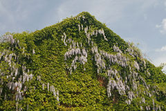 Building detail with Wisteria (climbing plant) Royalty Free Stock Images