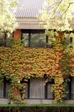 Building with Fall ivy. Building with colorful ivy in fall, shot in Tsinghua university,Beijing,China stock photo