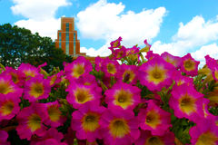 Building with flowers. A close-up of pink flowers with the Accident Fund building behind stock photography