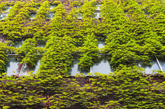 Building with green ivy covered wall Stock Photo