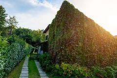 The building is overgrown with wild grapes. stock image