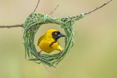 Building. Southern-masked weaver building nest Stock Image