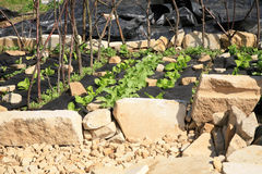 Building a vegetable and herb formal garden. Stock Photography