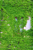 Building Wall Covered with Ivy Royalty Free Stock Image