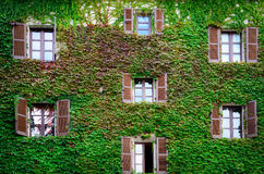 Building wall and windows covered with ivy and vine Royalty Free Stock Photography