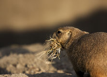 Building a warm nest. A photo of a priari dog royalty free stock photo