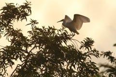 Buio volante dell'uccello dell'egretta della siluetta fotografia stock