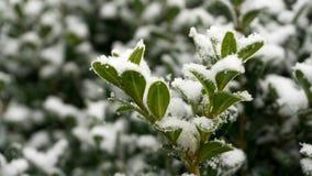 Buis - en hiver avec la neige photo stock