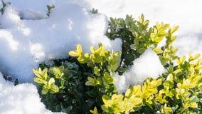 Buis - en hiver avec la neige Images stock
